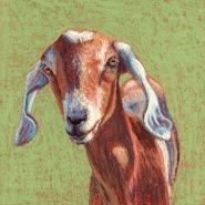 Nubian Goat, pastel on gatorboard, 8x8